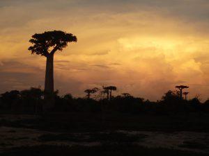 Madagascar Baobab alley